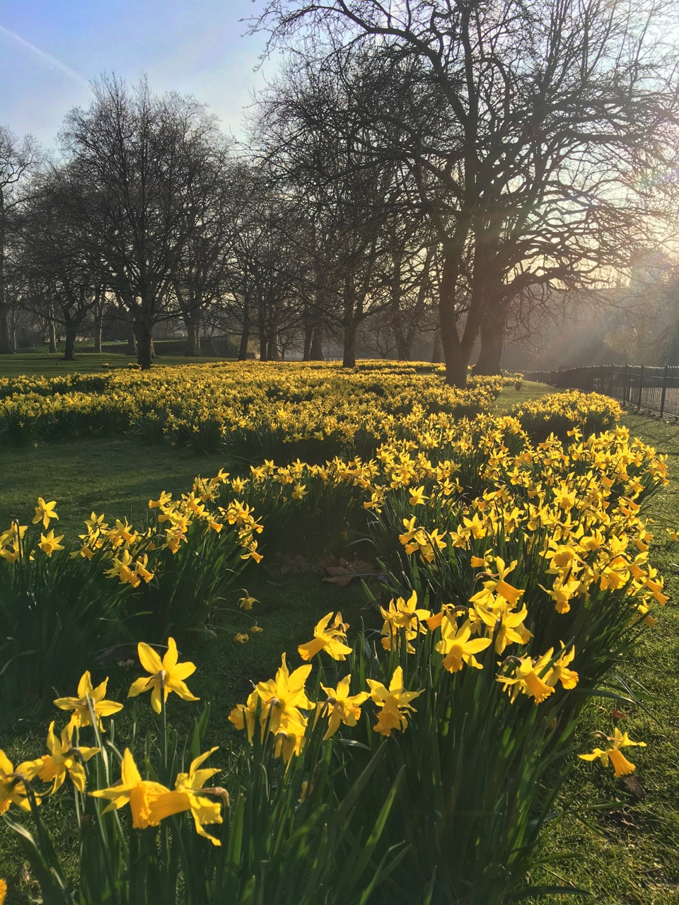 Daffodils, St James Park, London